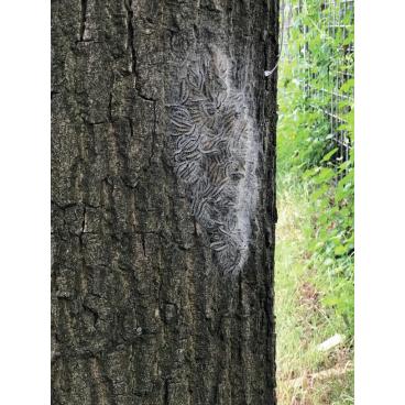 EPS-Killer Heißwasser-Reinigungsgerät 1 Gerät gegen Eichenprozessionsspinner